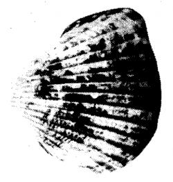 Concha huequera